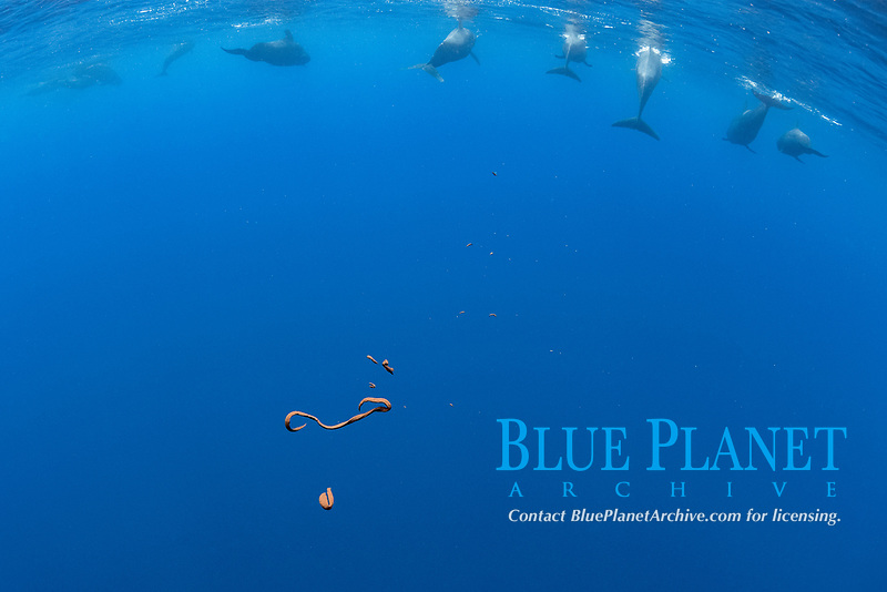 Short-finned pilot whale (Globicephala macrorhynchus) faeces. South Tenerife, Canary Islands, Atlantic Ocean
