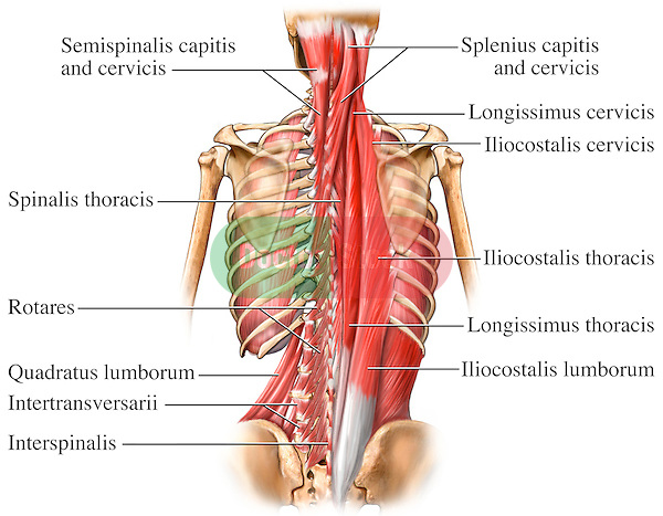 This full color stock medical exhibit illustrates the deep muscles of the back and spine. The following structures are labeled:  semispinalis capitis, spinalis, cervicis, spinalis thoracis, rotares, splenius capitis, longissimus cervicis, iliocostalis cervicis, iliocostalis thoracis, longissimus thoracis, iliocostalis lumborum..