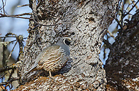 Male California Quail (Callipepla californica) sitting in oak tree, also known as the California Valley Quail or Valley Quail.  California.  Late winter-early spring.