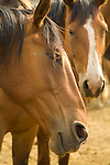 Group of horses, Deschutes County Fair and Rodeo, Central Oregon