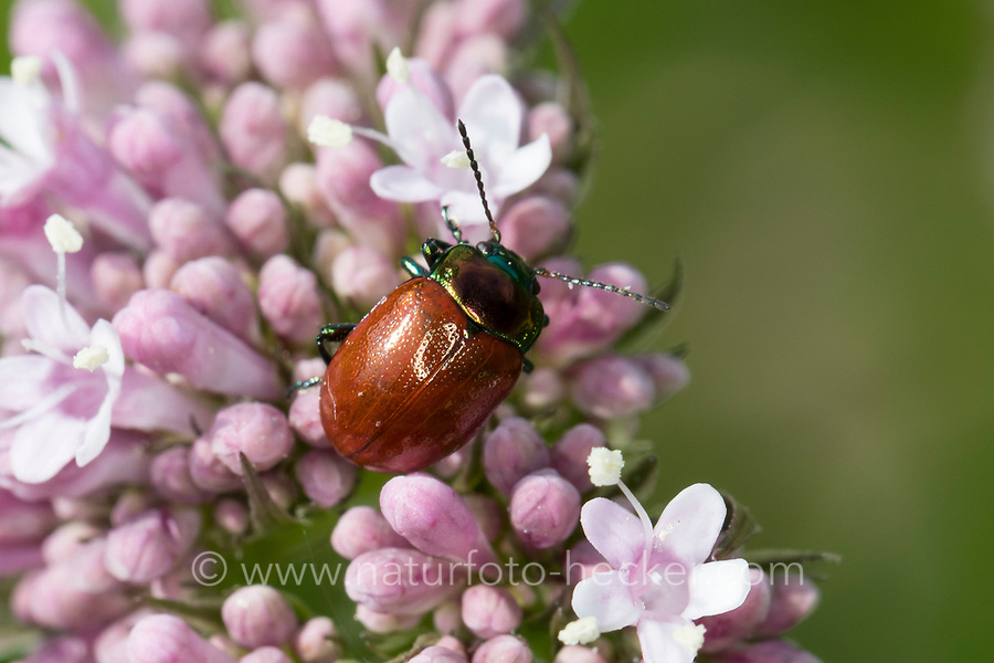 Geglätteter Blattkäfer, auf Baldrian, Chrysolina polita, Chrysomela polita, leaf beetle, la chrysomèle polie