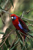 Crimson Rosella on The Great Ocean Road, Victoria, Australia