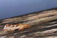 Köcherfliege, Limnephilus cf. lunatus, caddis fly, caddisfly, caddy, sedge-fly, rail-fly, caddisflies, sedge-flies, rail-flies, Limnephilidae