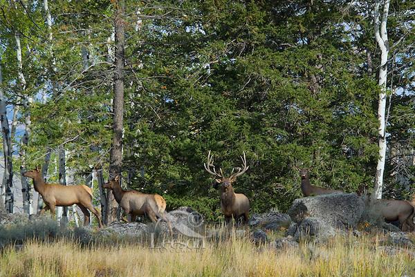 Rocky Mountain Elk herd (Cervus elaphus).  Rocky Mountain area.  Fall.