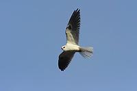 White-tailed Kite (Elanus leucurus) in flight. Los Padres National Forest, California. December.
