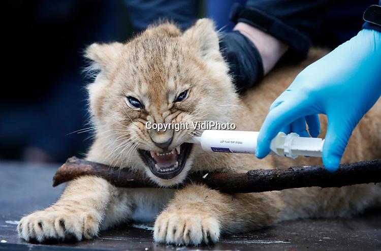 Foto: VidiPhoto<br /> <br /> ARNHEM – In Burgers' Zoo in Arnhem zijn donderdag drie leeuwenwelpen geënt tegen katten- en niesziekte. Dat is nodig om ze straks kennis te kunnen laten maken met de andere leeuwen. De verzorgers moesten mondkapjes dragen omdat ook katachtigen gevoelig zijn voor Covid-19. Naast deze moeder met drie jongen, heeft de Arnhemse dierentuin nog een volwassen mannetje en een volwassen vrouwtje met twee jongen. Dit trio is op 26 november vorig jaar geboren. De andere jongen zijn vorig jaar juli geboren. In een half jaar tijd heeft Burger's er vijf jongen bij. Dat gebeurt omdat de dierentuin een nieuwe leeuwengroep formeert. Arnhem heeft een lange en succesvolle leeuwentraditie.  Als in 1965 werd de duizendste welp geboren. In 1968 had Burgers' het eerste leeuwenpark van Europa en hadden vrijwel alle Europese leeuwen wel een dna-link met De Nederlandse topfokker. Omdat er nu voldoende leeuwen zijn in dierentuinen worden er veel leeuwen gesteriliseerd. In het wild worden leeuwen wel ernstig bedreigd. Dat wordt veroorzaakt door habitatverlies, illegale jacht voor trofeeën of traditionele medicijnen en vanwege mens-dierconflicten.