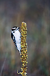 Downy Woodpecker on a mullein plant