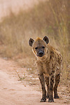 Spotted Hyena (Crocuta crocuta) female, Kruger National Park, South Africa