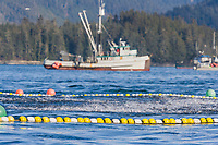 Pacific Herring splash on the surface as a seine net closes around them in the first 2006 Sitka Sac Roe Herring fishery opener on the north side of Middle island in Sitka Sound, March 2006.