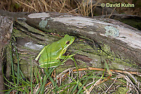 0605-0908  American Green Treefrog at Outer Banks North Carolina, Hyla cinerea  © David Kuhn/Dwight Kuhn Photography