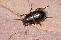 Schwarzkäfer, Nalassus laevioctostriatus, darkling beetle, Schwarzkäfer, Dunkelkäfer, Tenebrionidae, darkling beetles, flour beetles, mealworm beetles