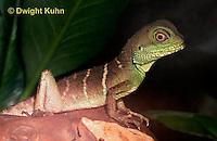 1R21-500z  Green Water Dragon, Physignathus cocincinus