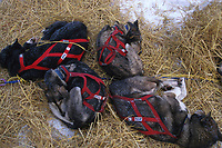 Dog Team Sleeping @ Ophir Chkpt 99 Iditarod AK