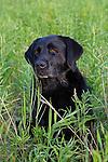 Black Labrador retriever (AKC) sitting in field.  Summer.  Winter, WI.