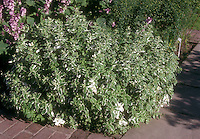 Variegated Pineapple Mint, herb Mentha suaveloens 'Variegata' showing plant habit in garden use