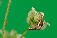 Green Lacewing (Chrysoperla carnea), larva feeding on aphids, Hill Country, Central Texas, USA
