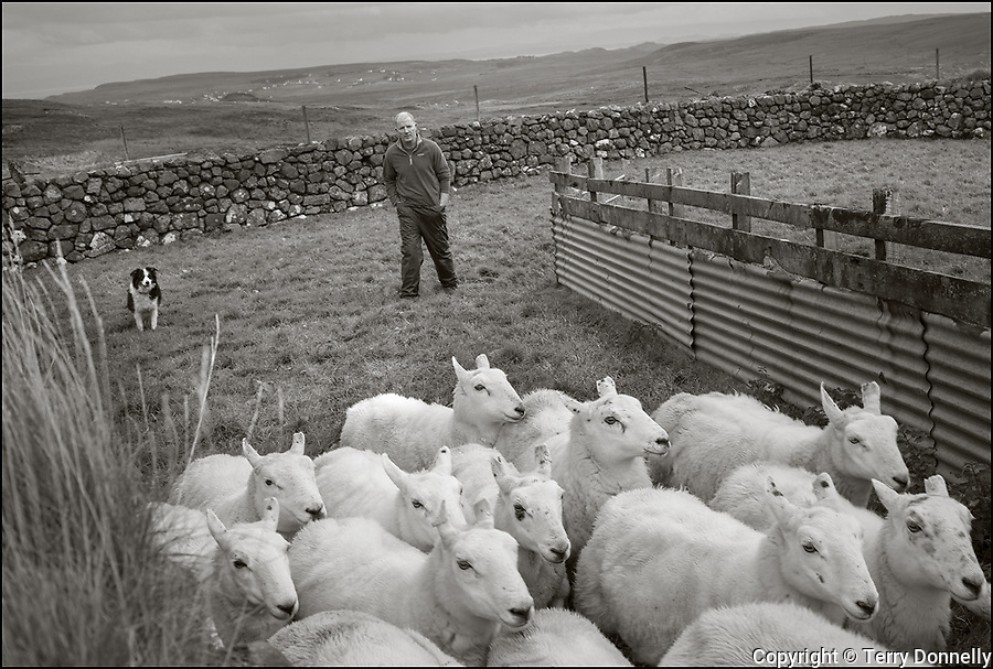 """Isle of Skye, Scotland:<br /> Crofters Calum and James MacDonald herding sheep for the annual """"sheep dip"""" with sheep dog Pip. Under the Quiraing mountains."""