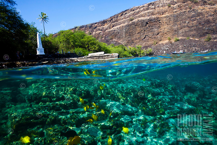 A school of yellow and achilles tang feeding in the waters near the Captain Cook Monument, Kealakekua Bay, Big Island