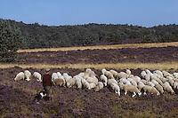 Europe/France/Limousin/23/Creuse/Plateau de Gentioux: Berger avec chien et troupeau de brebis dans la  lande de bruyère en fleurs