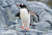 gentoo penguin, Pygoscelis papua, Ardley Island, Antarctica