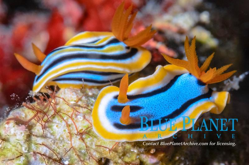 sea slugs or nudibranchs, Chromodoris annae and Chromodoris cf. colemani, Moalboal, Tuble, Cebu, Philippines