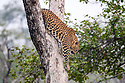Adult female leopard (Panthera pardus) climbing tree. Panna Tiger Reserve, Madhya Pradesh, Central India