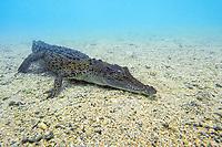 juvenile saltwater (Indo-Pacific) crocodile, Crocodylus porosus, endangered, Papua New Guinea, Pacific Ocean