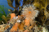 Seenelke, See-Nelke, Metridium senile, Seeanemone, See-Anemone, clonal plumose anemone, frilled anemone, plumose sea anemone, brown sea anemone, L'Œillet de mer, anémone plumeuse, Seeanemone, Seeanemonen, anemone, Blumentier, Blumentiere, Anthozoa, anemones, sea anemones
