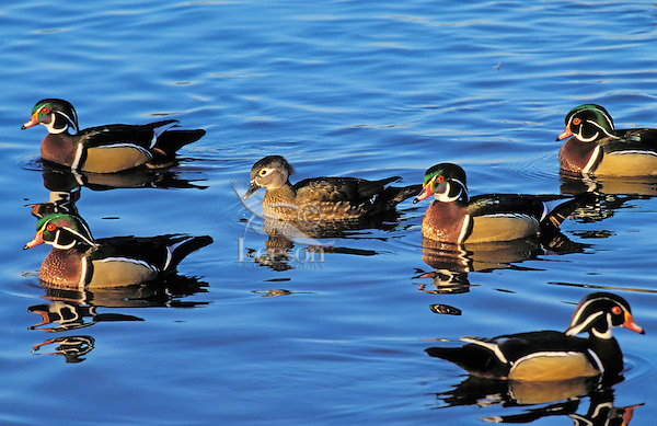 Wood Duck drakes surrounded lone hen. Early spring breeding season. British Columbia, Canada. (Aix sponsa).