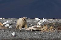 A Polar Bear feasts on a Gray Whale carcass near the hamlet of Doubtful, Wrangel Island
