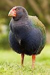 Takahe (Porphyrio hochstetteri), Kapiti Island, North Island, New Zealand