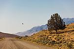 A golden eagle soars above a pastoral scene in Southeast Oregon along the gravel Fields-Denio Road.