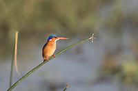 Malachite Kingfisher at Lake Langano in Ethiopia
