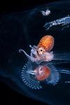 Female larval nautilus, pre-shell stage  inside a salp., Stolon emitting mucus web perhaps?