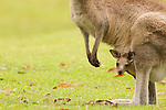 Eastern Grey Kangaroo (Macropus giganteus) joey peering from mother's pouch, Jervis Bay, New South Wales, Australia