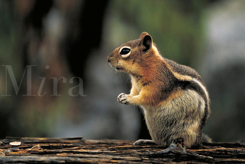Golden-mantled squirrel. Colorado USA Rocky Mountain National Park.