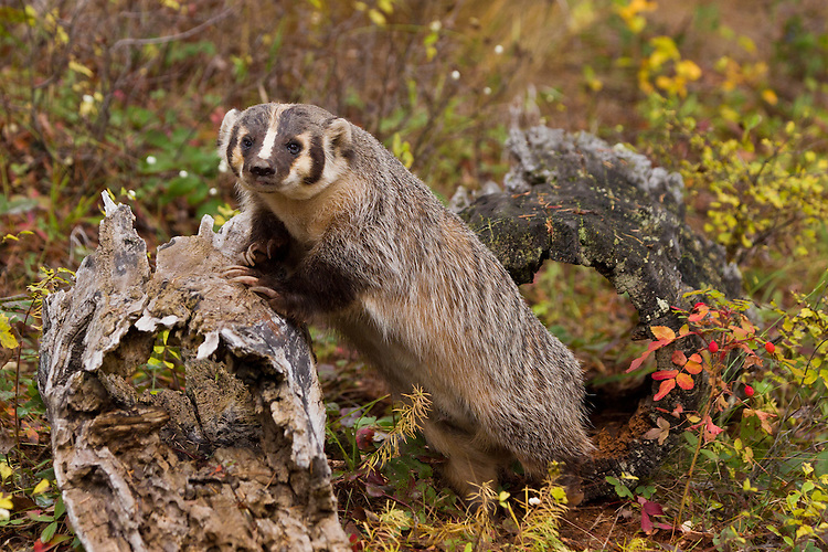 Badger (taxidea taxus) leaning against an old log after having emerged from a hollow log in amongst fall colors near Kalispell, Montana, USA - CA