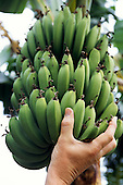 Sarchi, Costa Rica. Green, unripe bananas with a man's hand.
