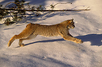 LYNX - large furry feet & flexible spine enable speed on top of snow. Winter.  Rocky Mountains. (Felis lynx canadensis)..