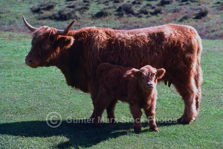 Highland Cow and Calf standing in a Pasture, British Columbia, Canada - Scottish Beef Cattle Breed