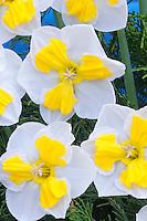 Daffodil Canasta split corona Narcissus
