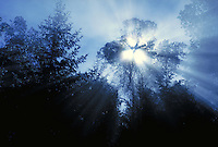 sun streaming through trees in morning mist filtered with blue light. tree, dawn, dusk, inspiration, weather, light, sky, silhouette, shadow, backlight. California.