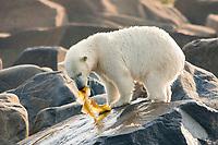 Polar bear, Ursus maritimus, eating kelp during the summer when other food is scarce. Churchill, Hudson Bay, Manitoba, Canada, Canadian Arctic, polar bear, Ursus maritimus