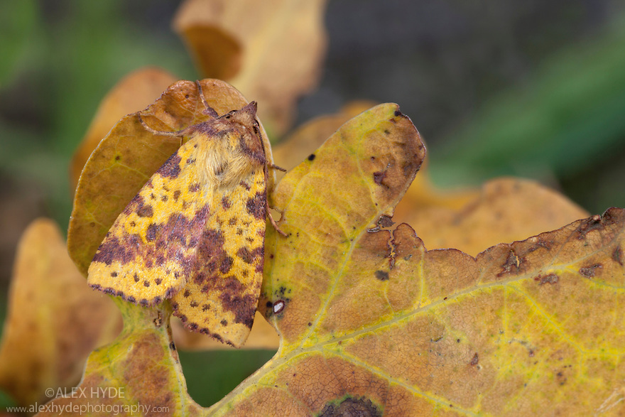 Pink-barred Sallow moth {Xanthia togata} camouflaged on a fallen oak leaf. The National Forest, Leicestershire, UK. September.