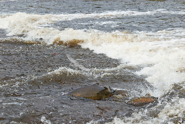 Chinook Salmon (larger fish on left) and coho salmon on fall spawning migration up stream.  Pacific Northwest.