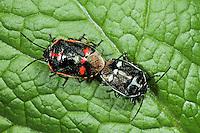 Kohlwanze, Kohl-Wanze, Paarung, Kopulation, Kopula, Eurydema oleraceum, brassica bug, pairing, copulation, Baumwanzen, Pentatomidae, stink bugs