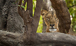 Central Africa, West African lion (Panthera leo senegalensis), also known as Senegal lion