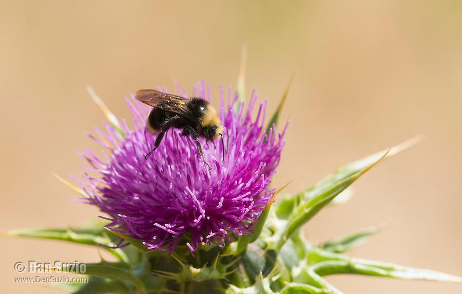 Yellow-faced bumblebee, Bombus vosnesenskii, on thistle, Cirsium sp., Point Reyes National Seashore, California