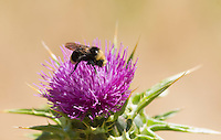Yellow-faced bumblebee, Bombus vosnesenskii, on thistle, Cirsium sp., Point Reyes National Seashore, California