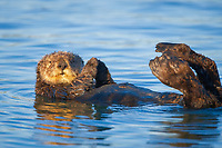 Enhydra lutris nereis, A sea otter, resting on its back, holding its paw out of the water for warmth, While the sea otter has extremely dense fur on its body, the fur is less dense on its head, arms and paws so it will hold these out of the cold water to conserve body heat,, Elkhorn Slough National Estuarine Research Reserve, Moss Landing, California, USA